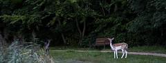 Startled (Wouter de Bruijn) Tags: fujifilm xt1 fujinonxf90mmf2rlmwr deer roe bambi animal fauna forest nature outdoor mantelingen westhove oostkapelle walcheren zeeland nederland netherlands holland dutch
