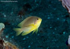 Ambon Damsel, Pomacentrus amboinensis, Alor, Indonesia (Jeremy Smith Photography) Tags: alamialor alor ambondamsel indonesia jeremysmith jeremysmithphotography marinefish marinelife pomacentrusamboinensis