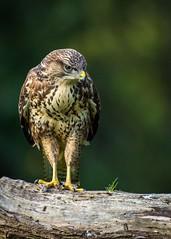 Buzzard. (Jez Nunn) Tags: wildbuzzardnaturebirdofpreyraptorwildlifesussex