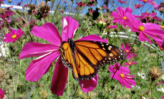 Alone in the Cosmos (TJ Gehling) Tags: insect lepidoptera butterfly nymphalidae monarch monarchbutterfly danaus danausplexippus plant flower asterales asteraceae cosmos communitygarden centennialpark fairmontpark elcerrito