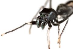 Ant mimicking spider closeup (Lacewing!) Tags: arachtober spider myrmarachne nature wildlife nsw australia fowlers gap myrmecomorph ant mimic black green macro extreme captive