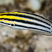 Striped Fangblenny - Meiacanthus grammistes