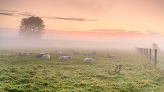 Sleeping beauty's (EXPLORE) (Ellen van den Doel) Tags: flakkee natuur netherlands nature mist overflakkee nederland outdoor up sunrise september animal goeree morning goodmorning 2017 sheep landschap sfeer schapen trees zonsopkomst zonsopgang fog myst waking landscape atmosphere nieuwetonge zuidholland nl