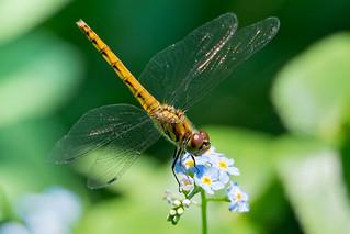 Dragonfly .Libellule..Japan