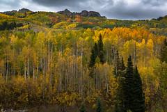 Luminance (Bill Bowman) Tags: aspen populustremuloides autumncolors fallcolors rubyrange keblerpass colorado alternativefacts