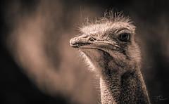Struthio camelus australis (Coisroux) Tags: ostrich struthiocamelusaustralis birds soiuthafrica animalportrait closeup blackandwhite oudshoorn wildlife beak nikond d5500 nikond5500 barbaryostrich monochrome 7dwf
