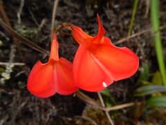 Masdevallia racemosa (Christophe Maerten) Tags: colombia colombie jungle cauca huila  purace paramo tierra indiguena native people parque natural parc volcan volcano vulkaan orchid orchidee masdevallia racemosa