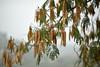 Helios tra i rami dell'albizia (STE) Tags: albizia ramo baccelli bokeh helios rami branches monferrato
