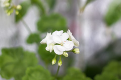 IMG_1484 (volodyainteres) Tags: flowers closeup white forest season blooming natural forests background blossom new flora woodland flowerbed bokeh glade green color fresh beautifu geranium makro fleur macro flower garden plant leaf