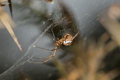 Arachtober 16 - Linyphia triangularis (sheet web spider) (Anne Richardson) Tags: spider arachnid arachtober sheetweb hammockspider brownseaisland macro macrophotography wildlife nature