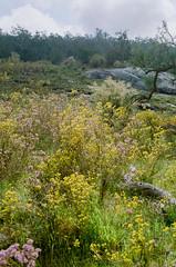 Mundy Regional Park, Forrestfield, Western Australia - 20170916.005 (Cecilia Temperli) Tags: australia westernaustralia perth forrestfield lewisroadwalk springflowers spring film kodak nikonf3hp kodakgold200 bushwalking mundyregionalpark whistlepipegully