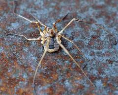 Alien life form (Matt C68) Tags: harvestman harvest man opiliones arachnid rust