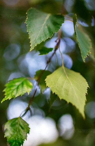 _MG_1743_web - Birch foliage by Sigma 35Art