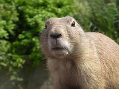Huh? (m_artijn) Tags: prairy dog rotterdam zoo nl huh curious closeup prairydog tree