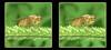 I'm Golden - Crosseye 3D (DarkOnus) Tags: crossview crosseye pennsylvania bucks county panasonic lumix dmcfz35 3d stereogram stereography stereo darkonus closeup macro insect dungfly dung scathophaga stercoraria yellow