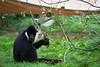 Northern White-cheeked Gibbon (mellting) Tags: djurparker eskilstuna nikond500 parkenzoo platser sigma1506005063sport bloggad flickr instagram matsellting mellting nikon sverige sweden northernwhitecheekedgibbon whitecheekedgibbon gibbon vitkindadgibbon nordligvitkindadgibbon hylobates hylobatesleucogenys zoo animal mammal primate