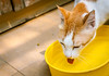 Toomey's thirsty! 😸 (stratman² (2 many pix!)) Tags: canonphotography eos450d ef40mmf28stm catdrinking creativecommons cat cmwdyellow yellow toomey moggie tabby neko chat gato catmoments