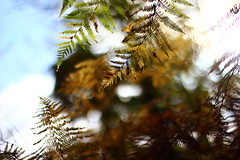 Natural elegance (Nathalie_Désirée) Tags: fern brake plant leaf fernfrond nature unnatural effect sky bokeh forest flora wood angle pointofview canoneos600d perspective canon50mm f18 macro closeup autumn sway swaying wind breeze elegant elegance germany badenwuerttemberg europe tree trees treetrunk