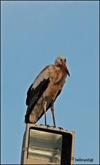 osservatore (imma.brunetti) Tags: cicogna piume ali becco lampione zampe animali