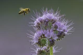 Bienchen und Blümchen/Bees and flowers