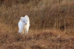 Arctic Fox in Autumn Tundra (Dan King Alaskan Photography) Tags: arcticfox fox vulpeslagopus tundra prudhoebay alaska canon50d sigma150600mm