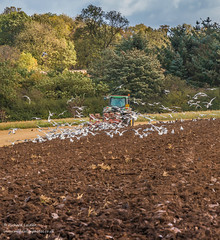 Ploughing at Wycliffe, Teesdale 2017 (Richard Laidler) Tags: 7810 arable clouds coastal countydurham dark darksky farm farming field flock following furrow furrows johndeere livestock loam lowerteesdale machinery northeastengland ploughing seagulls soil stubble sun sunny sunshine teesdale tractor weather wycliffe