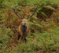 red deer stag longshaw estate peak districr uk 2017  (20) (Simon Dell Photography) Tags: simon dell photography sheffield nature wildlife animals peak district national park longshaw estate 2017 autumn fall red stag deer rutt wild majestic large male female big moor white edge hope valley september