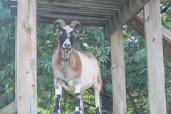 Goats (BowenGee) Tags: clarks farm ellicott city howard county elioak goats goat bunnies bunnie bunny bunnys rabbit rabbits cows cow sheep pigs pig emu horses horse donkey enchanted forest animals hayrides baby