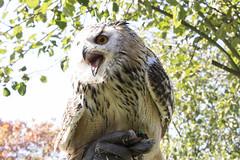 Metal Owl (Photography by Martijn Aalbers) Tags: falconcrest birds vogels bird vogel birdofprey roofvogel eindhoven canoneos77d ef70200mmf4lisusm wwwgevoeligeplatennl uil owl