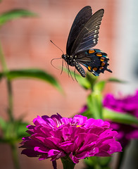 Liftoff (sethjschubert) Tags: wildlife bloom butterfly nature flower macro closeup battusphilenor insect pipevineswallowtail zinnia blossom moore ok