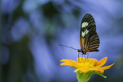 20170925_F0001: Elegantly butterfly stance (wfxue) Tags: smithsonian nationalmuseumofnaturalhistory butterflypavilion museum animal plant butterfly flower green yellow pollen insect eyes nature biology science macro