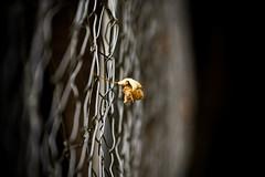 *** the Leaf *** (*** Joe Wild ***) Tags: leaf blatt herbst autumn braun makro macromonday monday saturday sony ilce7m2 70200mm f28 2000 mm ƒ32 iso100 zaun fence wildgehege