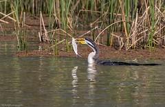 Spear fishing (Mykel46) Tags: murbko southaustralia australia au birds nature wildlife canon fishing water
