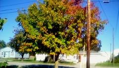 Maple tree in October - TMT (Maenette1) Tags: autumn maple tree colors neighborhood menominee uppermichigan treemendoustuesday flicker365 michiganfavorites
