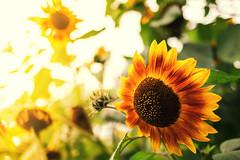 last signs of summer (mad_airbrush) Tags: 5d 5dmarkiii sun summer sommer sonne sonnenblume light sunny 35mm ef35mmf2usm is ef35mmf2isusm