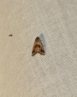 9003 Tripudia quadrifera, Moth