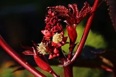 Ricinus communis (Hugo von Schreck) Tags: hugovonschreck ricinuscommunis flower blume blüte macro makro canoneos5dsr tamron28300mmf3563divcpzda010 fantasticnature