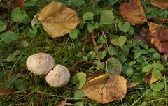Herbstlaub und Pilze (autumn leaves and mushrooms) (HEN-Magonza) Tags: herbst autumn botanischergartenmainz mainzbotanicalgardens rheinlandpfalz rhineland palatinate deutschland germany