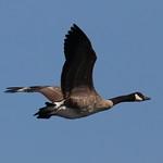 Canadian Goose thumbnail
