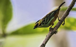 Tangara chrysotis - Golden-eared Tanager - Tangara Orejidorada - Tángara Pechirrufa 06