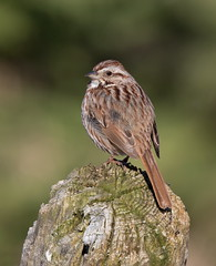 Song Sparrow (mandokid1) Tags: canon 1dx ef400mmdoii birds sparrows