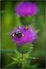 Pollen Legs (Steve4343) Tags: nikon d70s pollen legs thistle bee bug bugs purple green yellow beautiful insects steve4343