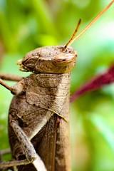 Gafanhoto (Paulo Mattes) Tags: inseto instagram insects insect insetos grilo gafanhoto grasshopper locust natgeo naturelovers natureza nature brazil brasil br canont5i canonbrasil canon closeup close macro 58250