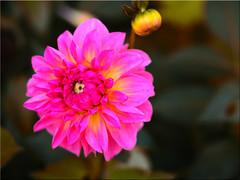 Autumn colors (Ostseetroll) Tags: deu deutschland geo:lat=5407421766 geo:lon=1077957625 geotagged hansapark schleswigholstein sierksdorf herbst autumn herbstfarben autumncolours dahlie dahlia