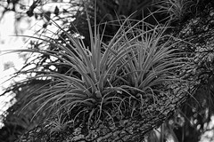 On A Limb (ACEZandEIGHTZ) Tags: tillandsias oak tree limb nikon d3200 bw airplant monochrome blackandwhite nature artofimages