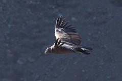 91 DSC_0857 (gus varela) Tags: condor aves chilenas carroñero