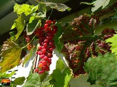 Herbstfrüchte im Oberschwäbischen Hausgarten -  autumn fruits in the Upper-Swabian garden (warata) Tags: 2017 deutschland germany süddeutschland southerngermany schwaben swabia oberschwaben upperswabia schwäbischesoberland badenwürttemberg pflanze hausgarten trauben rebe fruits autumn