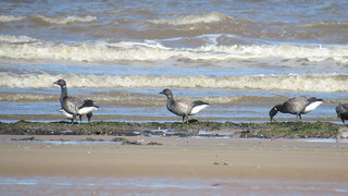 Brent geese on the tideline