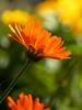 Flower (Krüger Fotografie) Tags: flower blume shine shining schein schatten shadow blätter wiese garten garden makro sigma outdoor nature natur nikon herbst fall wild blüte