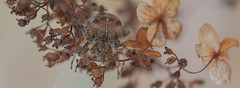 autumn spider hiding as the colours change (jim w-y) Tags: orb kent fall autumn web spider